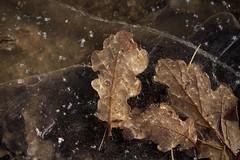 prises dans la glace (bulbocode909) Tags: valais suisse glace gel feuilles nature automne forêts