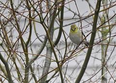 Forelorne (robinlamb1) Tags: nature outdoor animal bird finch goldfinch americangoldfinch male spinustristis backyard aldergrove alone mapletree