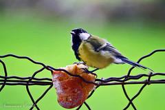 2017-09 Mésange Charbonnière (Ezzo33) Tags: france gironde nouvelleaquitaine ezzo33 nammour ezzat sony rx10m3 parc jardin oiseau oiseaux bird birds pyrénéesatlantiques laruns 64