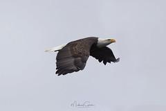 Searching (NikonDigifan) Tags: wildlife birds birdwatching eagle idaho lakecoeurdalene higginspoint wolflodgebay northidaho baldeagle niksoftware nikond750 tamronlenses tamron150600g2 tamron14teleconverter pacificnorthwest pnw mikegassphotography