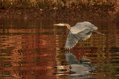 Flying Below Radar (dngovoni) Tags: virginia action autumn bird fall flight greatblueheron heron jamesriver sunrise water wildlife richmond unitedstates us