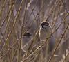 Pilfink (tskogset) Tags: pentaxk3 sigma vågå oppland norway tresparrow passermontanus color nature