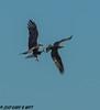 Balde Eagle Osprey (orencobirder) Tags: birds flickrexport eagles flight hawks largebirds
