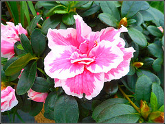 Azalea Plant,. (** Janets Photos **) Tags: uk plants flowers shrubs flora azalea rhododendron nature