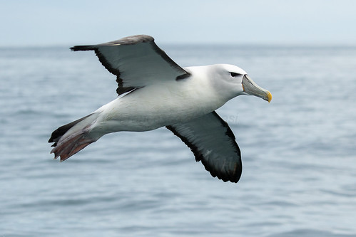 White-capped Albatross - Stewart Island - New Zealand_FJ0A7771