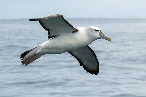 White-capped Albatross - Stewart Island - New Zealand_FJ0A7771
