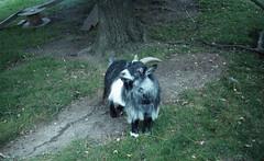 Strike a pose (DreamEstel) Tags: kodakcolor200 zenit11 takumar35mmf35 goats 35mm epsonv500 m42 animals hornimanmusuemgardens horniman