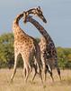 Giraffes in Love-0684 (dennis.zaebst) Tags: africa etosha giraffe mating animal wild outdoor naturethroughthelens coth5