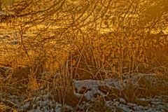 Golden light (Steenjep) Tags: vinter winter frost frozen rim plante plant græs grass sun sol light lys gold gylden modlys