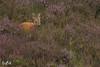 Roe deer at NP Veluwezoom (the Netherlands) (Renate van den Boom) Tags: 07juli 2017 europa gelderland jaar maand nederland ree renatevandenboom veluwezoom zoogdieren
