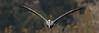 2017-12-19 (silare) Tags: brownpelican pelecanusoccidentalis pelican bird waterbird flight approaching forward birdinflight animal coming malibu malibulagoon malibulagoonstatebeach statebeach santamonica losangeles california