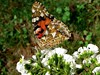 Vanessa cardui - Vanesse des chardons, Belle Dame (FR) - Painted Lady (UK) - Vanesa de los cardos (ES) - Papallona dels cards (CA) - Bela-Dama (PT) - Wanderfalter, Distelfalter (DE) - Distelvlinder (NL) - Дяволска пеперуда (BG) - ヒメアカタテハ (JP) (Patrick Verhaeghe) Tags: vanessa cardui vanesse chardons belle dame painted lady vanesa cardos papallona dels cards beladama wanderfalter distelfalter distelvlinder дяволска пеперуда ヒメアカタテハ