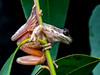 """Litoria"" ewingi (Garston, NZ) (ROCKnVOLE Photography) Tags: litoria rawlinsonia ewingi garston newzealand"