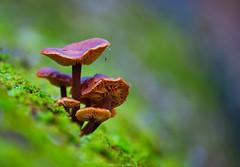 Mushroom (kalbasz) Tags: mushroom colors green hungary outdoor fuji xt2 xf55200 nature vác