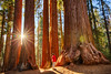 Giant Forest (FarzinPhoto) Tags: redwood sequoia nationalpark tree forest giant morning sunrise farzinphoto