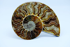Ammonite (OgniP) Tags: ammonite fossil