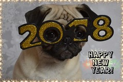 Happy New Year! Bonne Année Mes Amis! (DaPuglet) Tags: pug pugs dog dogs pet pets animal animals 2018 newyear glasses costume party celebrate celebration fun friends coth alittlebeauty coth5