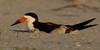 With chicks (v4vodka) Tags: bird birding birdwatching nature animal wildlife blackskimmer skimmer rynchopsniger brzytwodziob brzytwodziobamerykanski shorebird longisland newyork