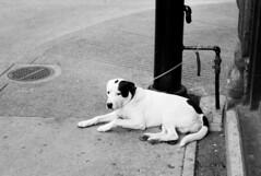 Anxious Dog Waiting for his Owner (Helios 1984) Tags: supertakumar55mmf18 55mm supertakumar asahioptical asahipentax pentax pentaxhoneywell takumar m42 vintagelens manuallens kodaktmax100 kodakfilm kodakalaris 35mmcamera 135mmfilm blackandwhitefilm asahipentaxspotmatic spotmatic spotmaticii フィルム ヴィンテージカメラ agfarodinal agfarondinax rondinax35u rodinaldeveloper ilfordrapidfixer daylightloadingfilmdevelopingtank konicaminoltadimageiv dimageivscanner minoltascanner dimageiv