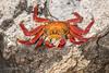 Sally Lightfoot Crab  D85_0830.jpg (Mobile Lynn) Tags: wild nature decapods crabs sallylightfootcrab fauna grapsusgrapsus wildlife southplazaisland galapagosislands ecuador ec coth specanimal coth5