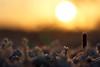 DSC04861 (mikael.kha248) Tags: winter snow ice nature depthoffield flora botanic botanica sunrise sunset wintersun wintersunset wintersunrise herbarium grass plants vegetable frost sunlight light winterlight micro micromacro macro macrophotography closeup sony sonysal5014 sal5014 alpha350 sonyalpha350