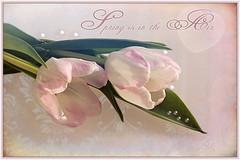 Spring is in the Air (Escara / Esther) Tags: stilllife stillleben spring tulips pastel composing pink texturized escara