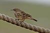 Rock Pipit (drbut) Tags: rockpipit anthuspetrosus rocks portlandbill dorset bird birds nature wildlife canonef500f4lisusm