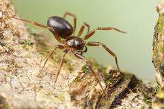 Microneta viaria female (kjellnilsson1) Tags: spider microneta viaria