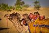 Camels resting at the Thar Desert, Rajasthan. India (Betty C.H.) Tags: camelsafari camels holidays india jaisalmer jogganjaisalmercamp rajasthan samsanddunes thardesert travel vacation