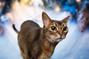 Leia - Christmas (Katherine Ridgley) Tags: toronto pet christmas season holiday indoor backdrop background animal animalia mammal mammalia carnivore carnivora cat feliscatus felissilvestriscatus felissilvestris felis felidae feliformia purebred purebreed purebredcat abyssinian abyssiniancat ruddy ruddyabyssinian usual usualabyssinian female femalecat femaleabyssinian domesticcat