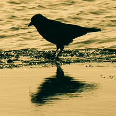 crow (WarDob) Tags: crow sunrise water lake chasewater sun gold bird refelection