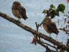 Corujinhas (Johnny Photofucker) Tags: coruja owl gufo bird ave pássaro passero uccello animal animale bicho nikon p530 natureza nature natura pampulha lagoa lightroom
