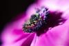 20180107_2978 (aNNajé) Tags: 2018 dof anemoon bloem januari lensbaby macro roze tulp voorjaar zacht