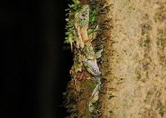 The Nocturnal Mossy Leaf-tailed Gecko (Uroplatus sikorae ) Camouflage (Susan Roehl) Tags: madagascar2017 islandofmadagascar offtheeastcoastofafrica andasibemantadianationalpark mossyleaftailedgecko uroplatussikorae reptile lizard animal camouflaged endemic primaryandsecondaryrainforests changecolor dermalflaps nocturnal arboreal eyeslarge lidless 6to8incheslong hangvertically taildorsoventrallyflattened insectivores earinsects arthropods gastropods sueroehl photographictours naturalexposures panasonic lumixdmcgh4 100400mmlens handheld shotatnight cropped tree bark moss ngc coth5 npc