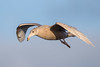 Glaucous Gull (Simon Stobart) Tags: glaucous gull larus hyperboreus first winter plumage northeastengland coth5 ngc npc