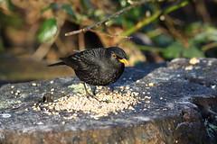 billy blackbird (Barry Miller _ Bazz) Tags: 5d3 canoncamera cheshire widnes victoriapark outdoorphotography wildlife nature blackbird