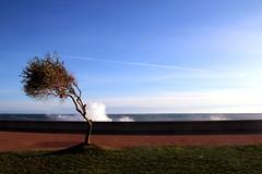Maestrale (meghimeg) Tags: 2017 sanremo mare onda sea wave albero tree vento wind cielo sky nuvole clouds acqua water