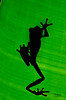 RedEyedTreeFrogBacklit (TRAdamson Photography) Tags: costarica costa rica rainforests travel centralamerica puravida frog frogs amphibians tropicalfrogs herping herpetology herps costaricanherps costaricanrainforests