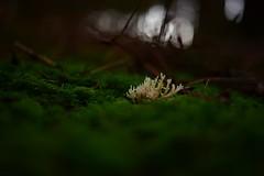Alone (Bastian_Schmidt) Tags: mushroom mushrooms pilz pilze nikon d610 nikkor 50mm 18 forest wald herbst autumn fall winter macro makro green small wolrd