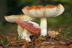 Fly agaric - Vliegenzwam (De Rode Olifant) Tags: nature autumn vliegenzwam marjansmeijsters flyagaric amanitamuscaria flyamanita mushroom fungus