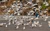 2017_12_11_5503-PS (DA Edwards) Tags: norcal northern california beach gualala gulls seagulls birds flight pacific ocean da edwards photography autumn 2017 coast coastal outside