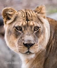 DSC07224 (montusurf) Tags: lion lioness dallas zoo texas predator feline cat face zoosofnorthamerica