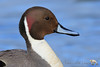Handsome Guy (PamsWildImages) Tags: nature naturephotographer wildlife wildlifephotographer bc bird britishcolumbia canada canon pamswildimages pammullins northernpintail