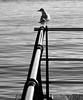 Composición con gaivota e baranda (carlosdeteis.foto) Tags: carlosdeteis galiza galicia