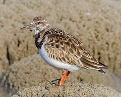 Ruddy Turnstone (tresed47) Tags: 2017 201712dec 20171211delawarebirds birds canon7d content december delaware fall folder fowlersbeach peterscamera petersphotos places ruddyturnstone season shorebirds takenby us