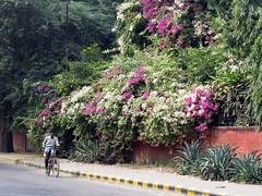 New Delhi 2017 (gerben more) Tags: bougainville man bicycle people flowers newdelhi delhi india