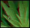 I'm Green with Envy 1 - Anaglyph 3D (DarkOnus) Tags: condylostylus caudatus longlegged fly im green with envy diptera pennsylvania buckscounty panasonic lumix dmcfz35 3d stereogram stereography stereo darkonus closeup macro insect anaglyph