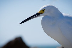 Portrait of Billy (carribeansquid) Tags: egret snowyegret florida southjetty beach gulf fall november 2017 nikond7000 nikon d7000 birds ornithology squidtea bill yellow head portrait