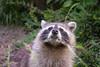 2017-06-01-Osnabruck-0849.jpg (BZD1) Tags: natuur zooosnabruck nature bears wasber procyonlotor carnivore raccoon mammal animal osnabrück niedersachsen duitsland de