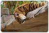 Young Sumatran Tiger (Panthera tigris sumatrae) (Craig Jewell Photography) Tags: pantheratigrissumatrae australia australiazoo beerwah queensland steveirwin sumatrantiger zoo f40 100300mm ¹⁄₃₂₀sec canoneos1dmarkiv iso800 126 20171228123803x0k0315cr2 noflash ‒²⁄₃ev